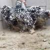 مزرعه پرورش قوغاز سولدوز