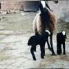 خرید و فروش بهترین نژاد گوسفند شال صبری