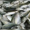 ماهی فروشی آنلاین مشکاتی