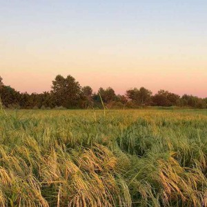 کارخانه تولید برنج یاسمن