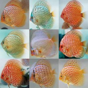 فروش بچه ماهی تیلاپیاو ماهی زینتی ذُکایی