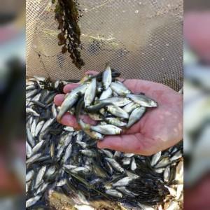 تولید و فروش بچه ماهی دهقان