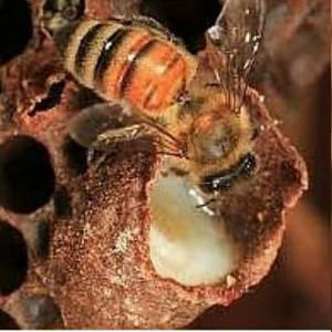 پرورش زنبور عسل شهد ماهور