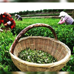 چای گیلانه در گیلان